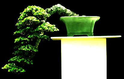 grow a bonsai