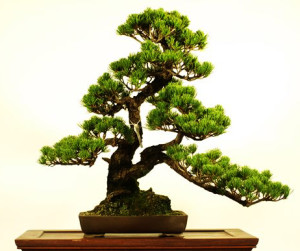 Grow a Bonsai: The best guide to grow your own bonsai