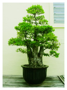 Multitrunk Bonsai