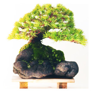 Clinging-to-a-Rock Bonsai