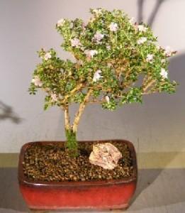 buy a bonsai