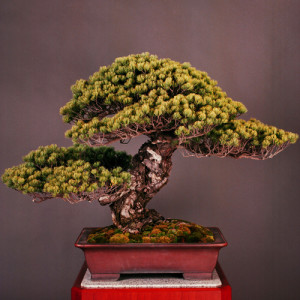 Patience Bonsai