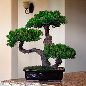 Indoor bonsai recommendations tips and guides grow a for Bonsai indoor